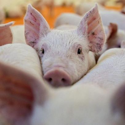 Giá lợn hơi tiếp tục tăng mạnh, dự báo cán mốc 60.000 đồng/kg