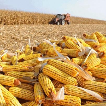 """Giá ngô cao nhất hơn 8 năm sau 6 tuần tăng liên tiếp là """"thủ phạm"""" gây bão giá thức ăn chăn nuôi"""