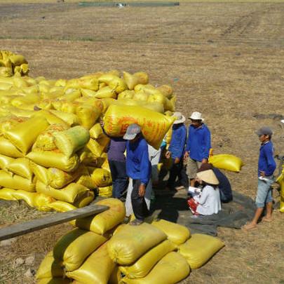 Nhu cầu cao, giá lúa gạo tăng mạnh: Vụ lúa Đông Xuân không lo đầu ra