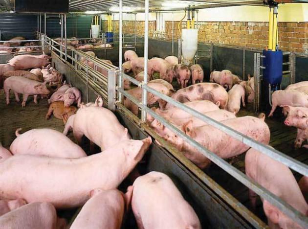 Việt Nam top 5 thế giới nuôi lợn, bất ngờ thiếu ăn, ồ ạt nhập khẩu - Ảnh 1.