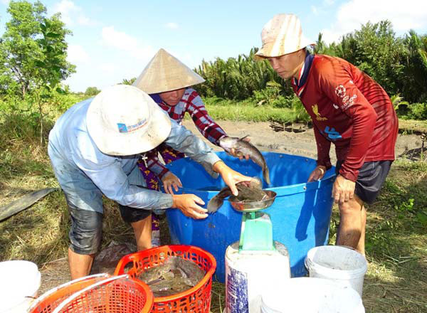 """Cà Mau: Giá cá bống bự """"bốc hơi"""" 200.000 đ/kg, nông dân nuôi cầm cự"""
