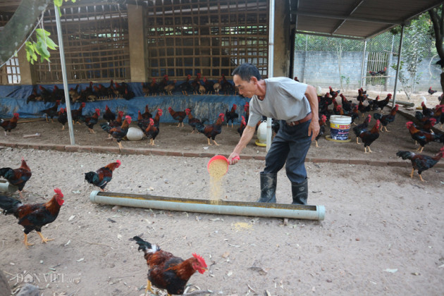 Giá gia cầm hôm nay 20/2: Giá vịt thịt 2 miền vênh nhau 7.000 đ/kg