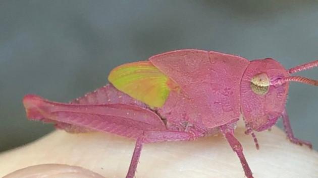 Mang gien đột biến, châu chấu có màu hồng nổi bật cực hiếm