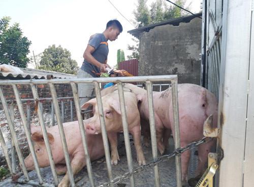 Nếu không có dịch tả lợn châu Phi, giá lợn hơi sẽ là bao nhiêu?