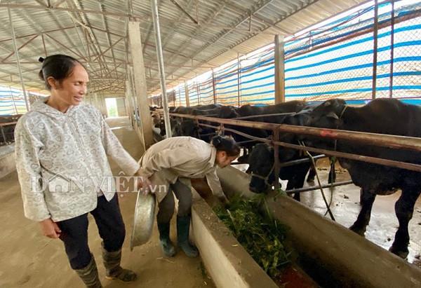 Nuôi 100 con bò 3B to bự,  bà Vân xóm Voi lời 2 tỷ đồng mỗi năm