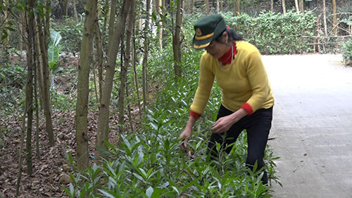 Phú Thọ: Một phụ nữ tự trồng 3km đường hoa ai cũng trầm trồ