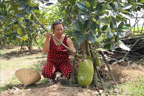 Quảng Nam: Trồng những cây mít ra trái to bự, ai cũng thích mua